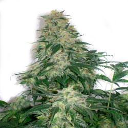 amnesia-bilbo-genetick-yerbaguena-growshop-online